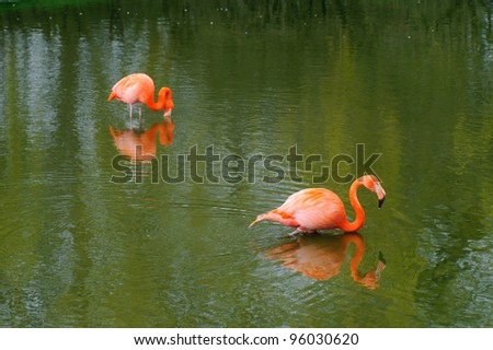 Two flamingos feeding in water - stock photo