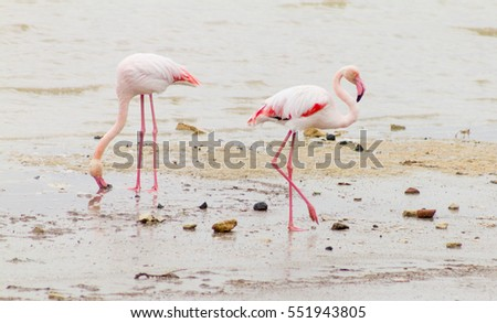 Two flamingos grazing at Larnaca Salt-lake shore in the island of Cyprus