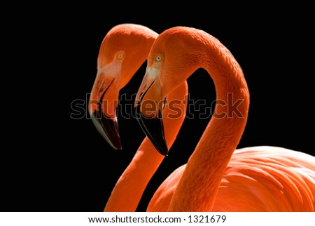 Two flamingos mirroring each other against a black background.