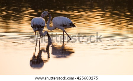 Two flamingos on the calm pond with reflections