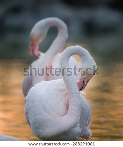 Two flamingos standing in water in twilight - stock photo