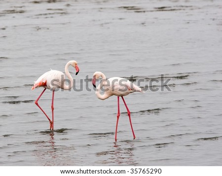 two flamingos walking in water - stock photo
