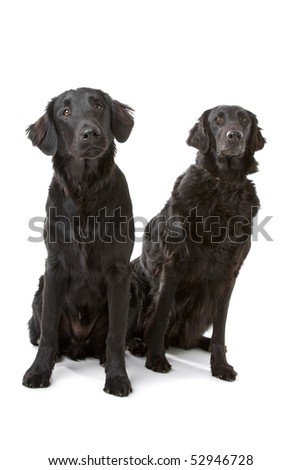 two Flat-Coated Retriever(Flatcoat, Flattie) dogs in front of a white background - stock photo