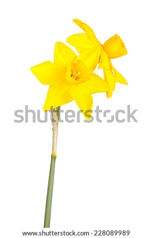 Two flowers and stem of a yellow jonquil cultivar isolated against a white background