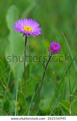 Two flowers Aster alpinus in lush green grass. Flowering meadow mountainous Caucasus. Svaneti, Georgia - stock photo