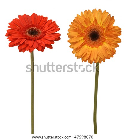 two flowers isolated on white - stock photo