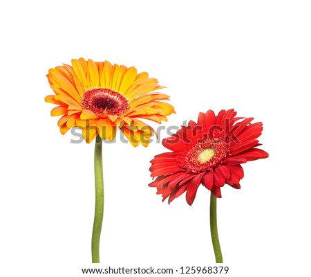 Two flowers of  gerbera isolated on white background - stock photo