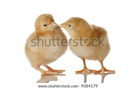 Two fluffy baby chicken isolated against white background