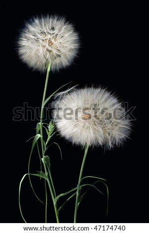 two fluffy Dandelion on a black background macro seed