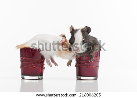 two fluffy funny hamster into glasses. two baby guinea pig in glass isolated  - stock photo
