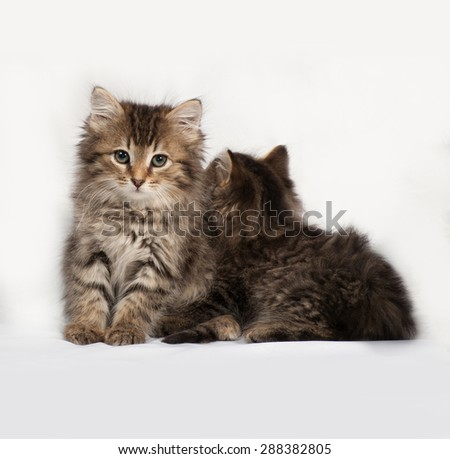 Two fluffy Siberian striped kitten sitting on gray background - stock photo