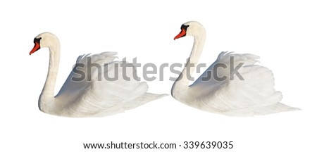 Two fluffy white swans isolated on the white surface.