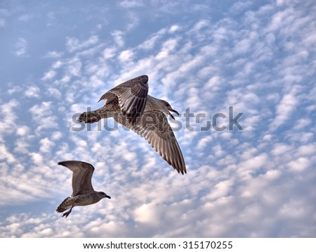 Two flying seagulls at the baltic coast on a summer evening