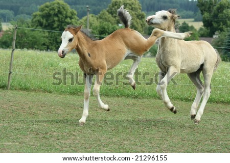 Two foals playing