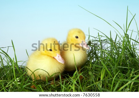 Two four days old easter ducklings in grass - stock photo
