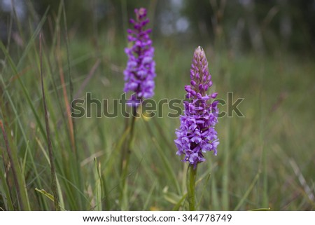 Two fragrant orchid (Gymnadenia conopsea) among low vegetation at coastal meadow at Helgeland, Nordland, Norway. Shallow DOF. - stock photo