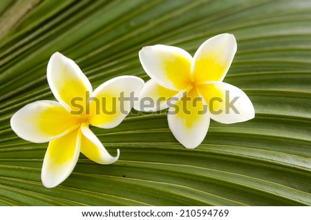 Two frangipani with palm leaf-close up  - stock photo
