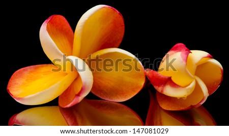 two frangipano flowers on black mirror - stock photo
