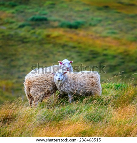 Two free range sheep in Northwestern Iceland - stock photo