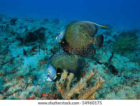Two French Angel Fish on coral reef