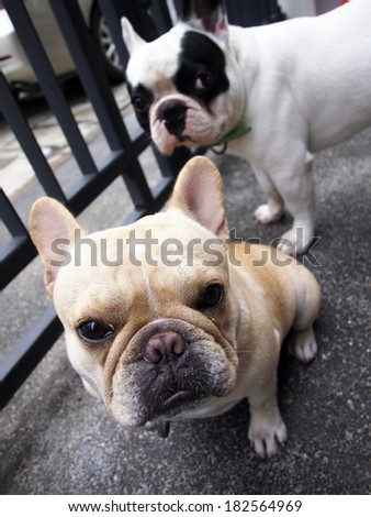Two french bulldogs looking and wait for command