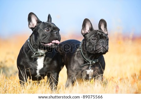Two french bulldogs portrait - stock photo
