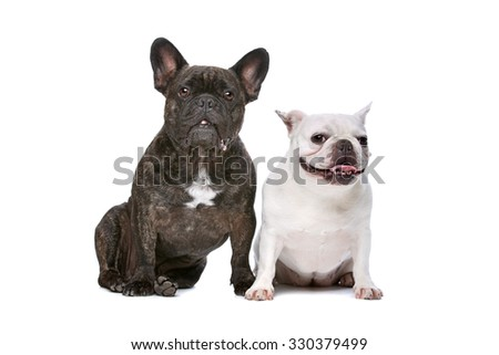 two French bulldogs sitting in front of a white background - stock photo