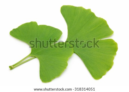 Two fresh ginkgo leaves isolated on white background - stock photo