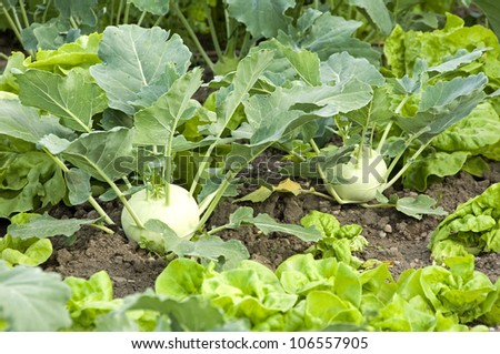 Two fresh kohlrabi in a vegetable patch - stock photo