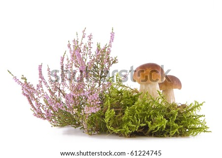 Two fresh porcini mushrooms in a green moss and heather isolated on white background - stock photo