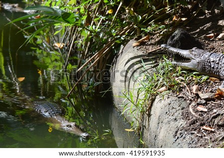 Two freshwater crocodile on a river bank in Queensland Australia - stock photo