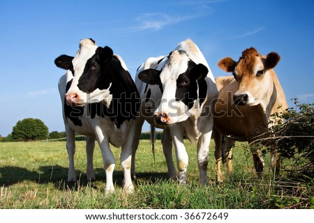 Two Fresian cows and a Jersey cow in a line - stock photo