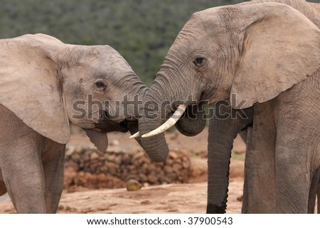 Two friendly African elephants greeting each other with trunks intertwined - stock photo