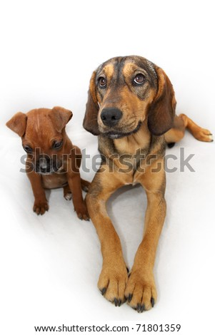 Two friendly brown dogs