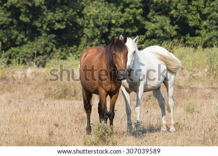 Two friendly horses, brown and white,  playing at  meadow
