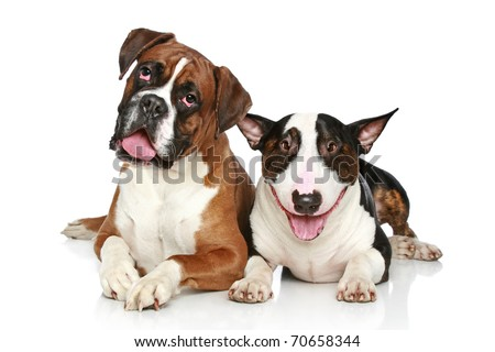Two friends, Boxer and Bull Terrier resting  on a white background