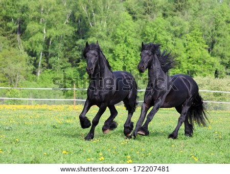 Two Friesian stallion playing in the pasture at summer - stock photo