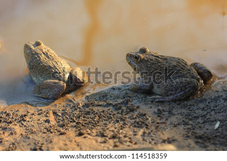 Two Frogs(Hoplobatrachus rugulosus) in the field of Thailand