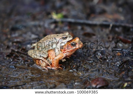 two frogs reproduce - stock photo