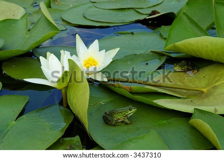 Two frogs sitting on the water lily pads - stock photo
