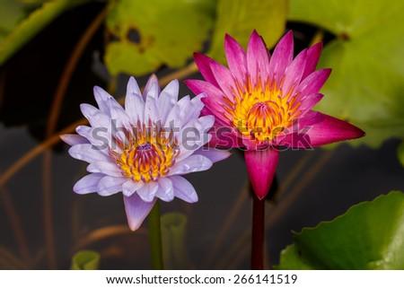 Two full bloom of waterlily / lotus behind by lotus leaf.  - stock photo