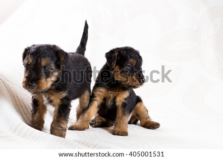 Two funny Airedale terrier puppy  - stock photo