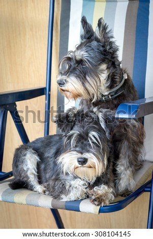 two funny black and silver miniature schnauzer dogs in the chair - stock photo