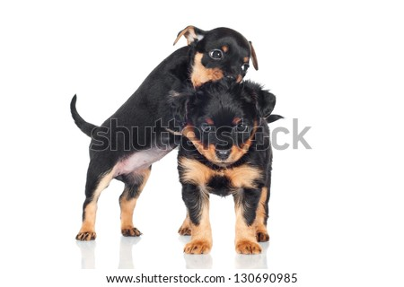 two funny black puppies playing together