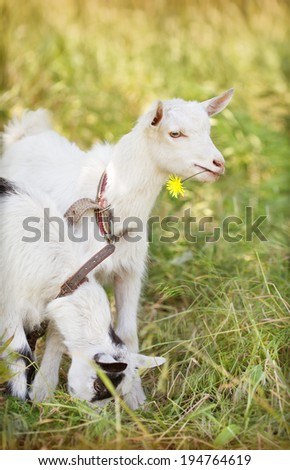 Two funny goats on a green grass background