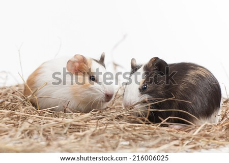 Two funny hamsters on white isolated background. Two nice hamster sitting on hay - stock photo