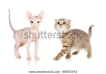 two funny kitten: hairless sphynx and Scottish tabby cat - stock photo