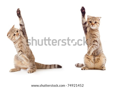 two funny kittens isolated ideal for holding something in between them - stock photo
