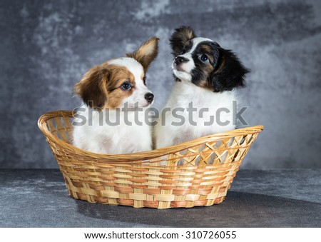 Two funny Papillon puppy sitting in a basket - stock photo