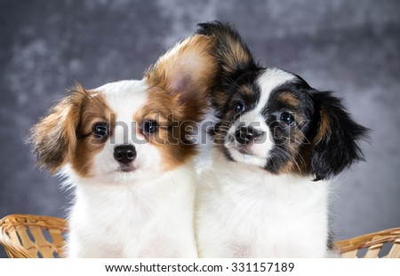 Two funny Papillon puppy sitting in a basket